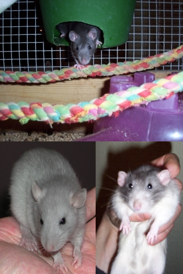 Rat Breeders UK